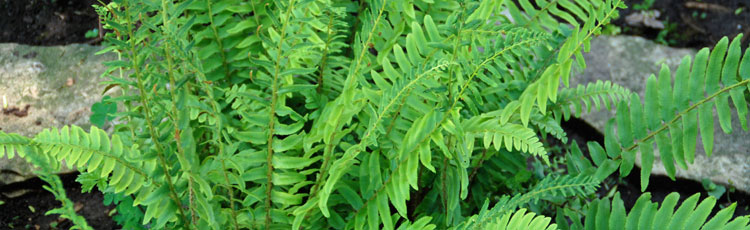 Ferns-for-Zone-5.jpg