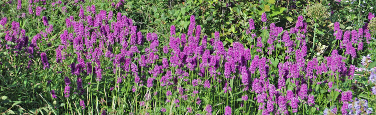 010419_Stachys_Hummelo_2019_Perennial_Plant_of_the_Year.jpg