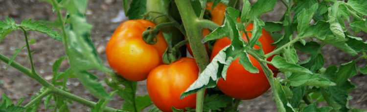 Uneven-Ripening-of-Tomatoes-THUMB.jpg
