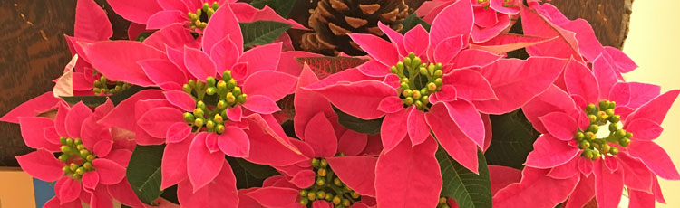 120318_Four_Tips_for_Keeping_Your_Poinsettia_Looking_its_Best-THUMB.jpg
