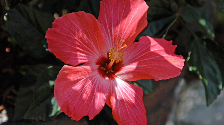 What-to-Do-with-Tropical-Hibiscus-in-Fall.jpg