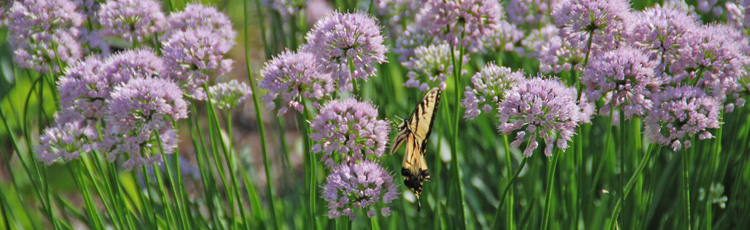2012_320_MGM_Allium_Summer_Beauty_Summer_Beauty_Flowering_Onion.jpg