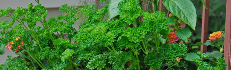 2011_201_MGM_Parsley.jpg