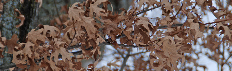 Oak-Leaves-as-Mulch-in-the-Garden.jpg