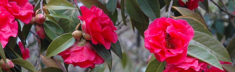 Transplanting-and-Pruning-Camellia-THUMB.jpg