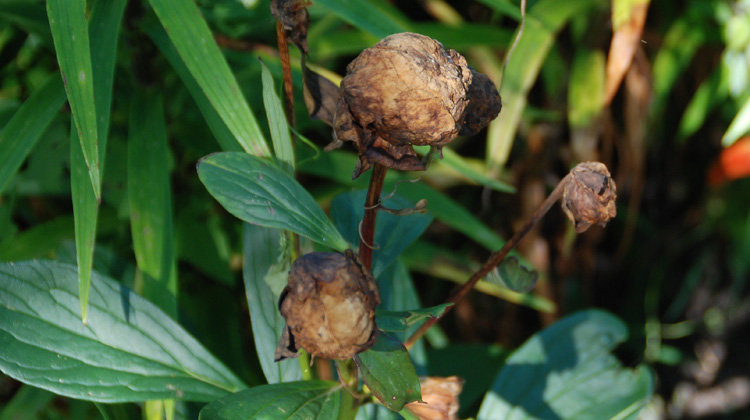 Brown-and-Dried-Up-Peony-Buds.jpg
