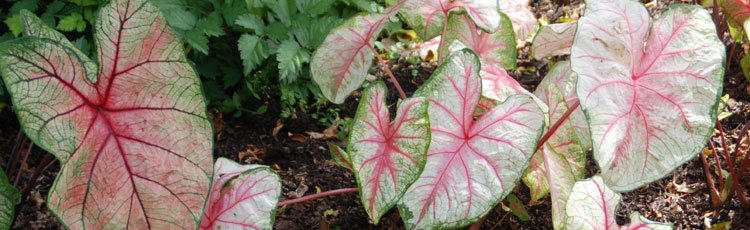 Colorful_Caladiums_Brighten_Shade_Gardens_All_Season-THUMB.jpg