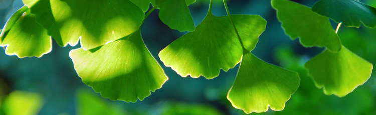 111416_Low_Maintenance_Pest_free_Ginkgo_biloba_tree.jpg