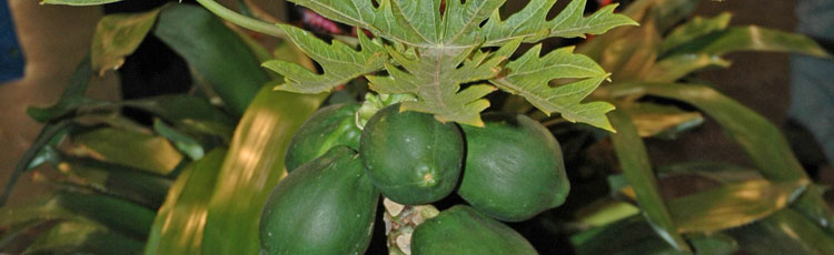 082119_Growing_Dwarf_Papaya_Indoors-THUMB.jpg