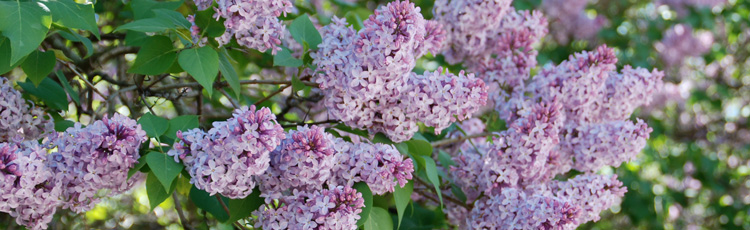 2010_43_MGM_Pruning_Spring_Flowering_Shrubs.jpg