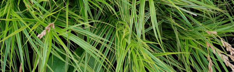 Ornamental-Grass-for-a-Moist-Shady-Site-THUMB.jpg