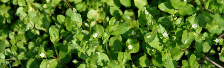 042215_Edible_Chickweed_Moves_into_the_Kitchen.jpg