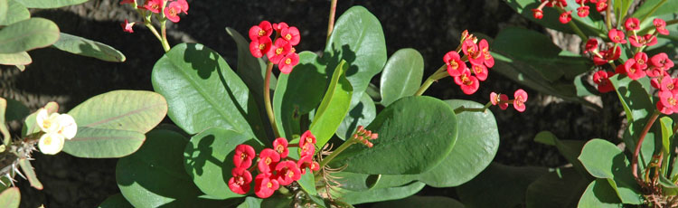 Leaves-of-Crown-of-Thorns-Falling-Off.jpg