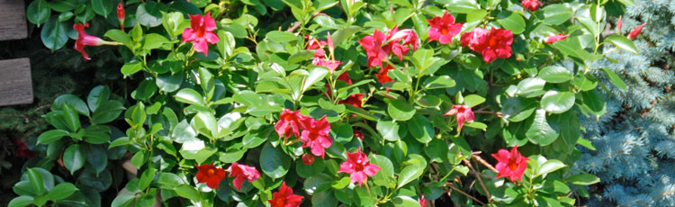 Keeping-Mandevilla-Alive-Over-Winter.jpg