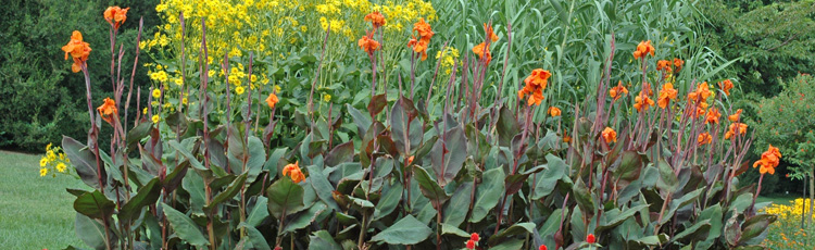 Rusty-Brown-Leaves-on-Canna-THUMB.jpg