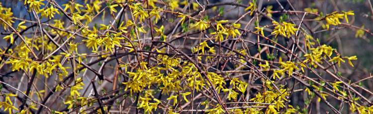 Trying-to-Get-Rid-of-Forsythia-THUMB.jpg