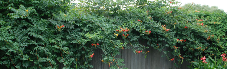Trumpet-Vine-Has-Taken-Over.jpg