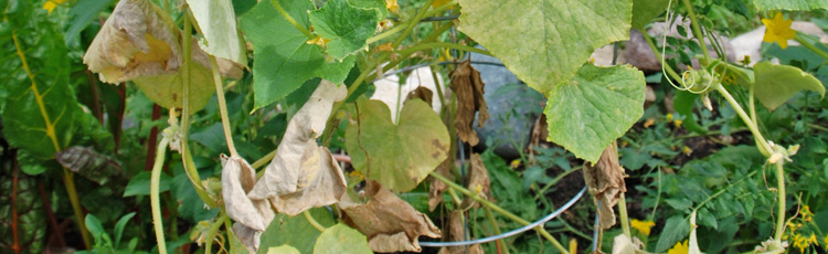 Vine-Crops-Wilted-and-Died-THUMB.jpg