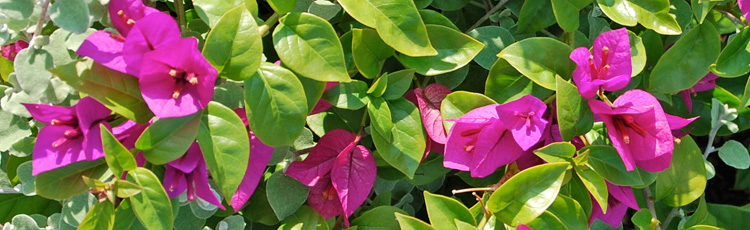 Coaxing-Your-Bougainvillea-to-Bloom-THUMB.jpg