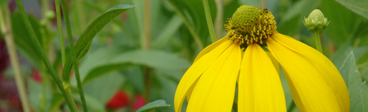 072617_Growing_Blackeyed_Susans_Rudbeckias.jpg