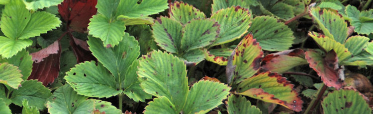 Red-Spots-on-Strawberry-Leaves.jpg