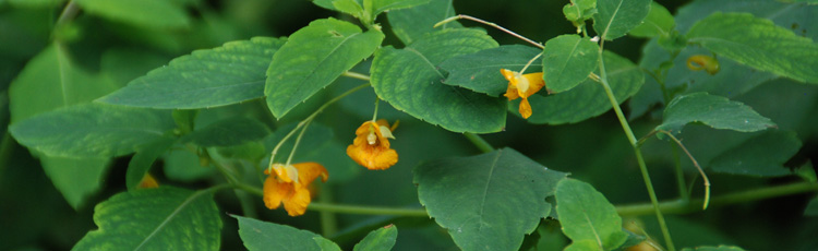061516_Stop_the_Itch_of_Poison_Ivy_with_Jewelweed.jpg