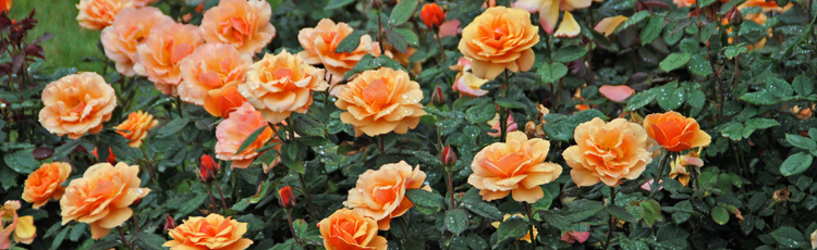 2012_359_Celebrate_National_Rose_Month_and_Plant_Roses_for_Yearround_Beauty.jpg
