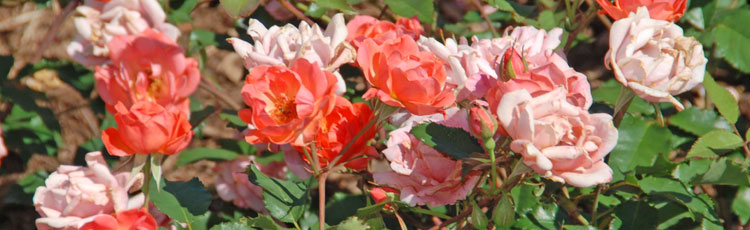 Rose-Plants-Wilting-and-Dying.jpg