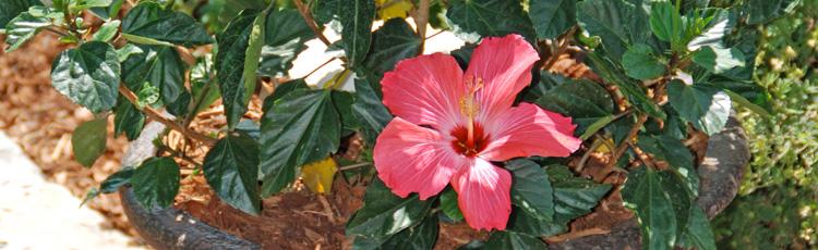 Hibiscus Leaves Turning Yellow Melinda Myers