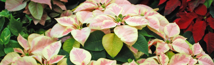 Lower-Leaves-of-Poinsettia-Turned-Yellow-and-Fell-Off.jpg