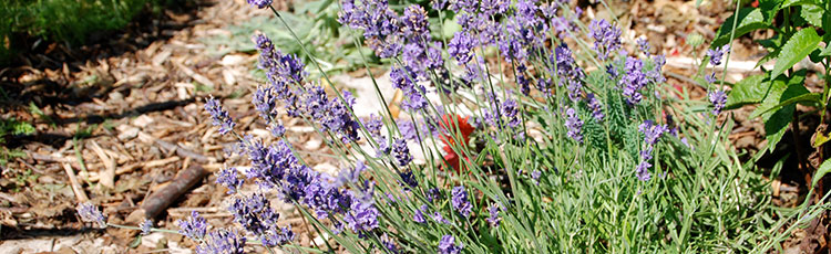 032320_2020_National_Garden_Bureau_Year_of_Lavender.jpg