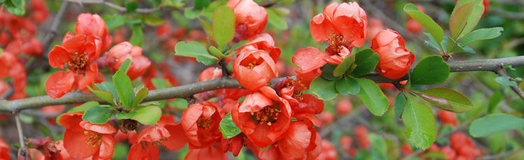 Pruning-Flowering-Quince-THUMB.jpg