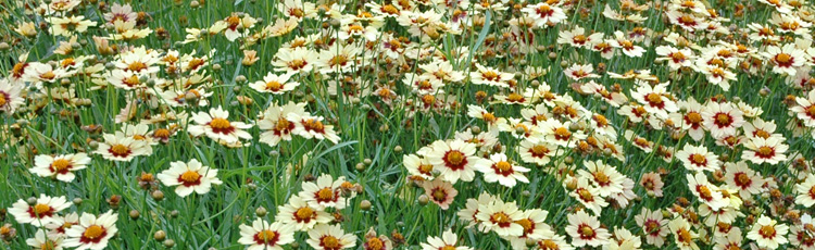 Fall-Care-of-Coreopsis-THUMB.jpg