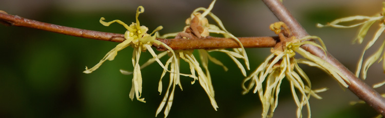 032618_Pollinator_of_Fall_and_Winter_Flowering_Witchhazels.jpg