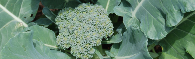 Yellow-Leaves-on-Broccoli-THUMB.jpg