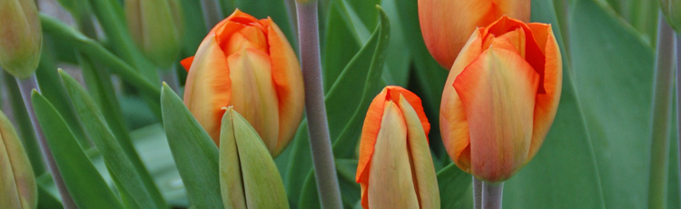 Forcing-Tulips-THUMB.jpg