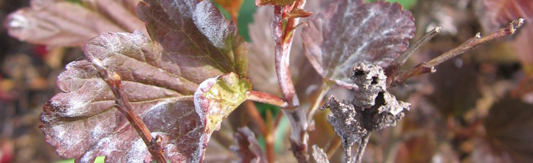 Powdery-Mildew-on-Ninebark-THUMB.jpg