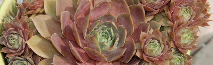 Care-Potted-Hens-Chicks-Winter-THUMB.jpg