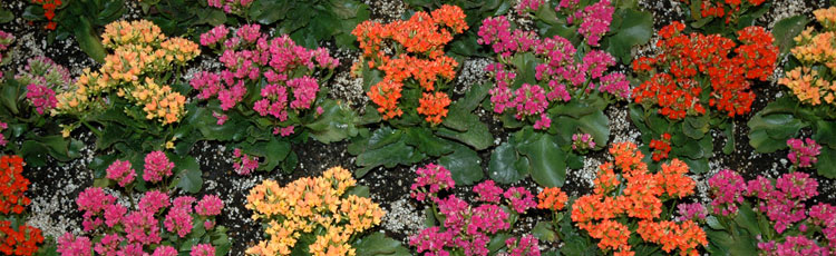 Care-for-Kalanchoe.jpg