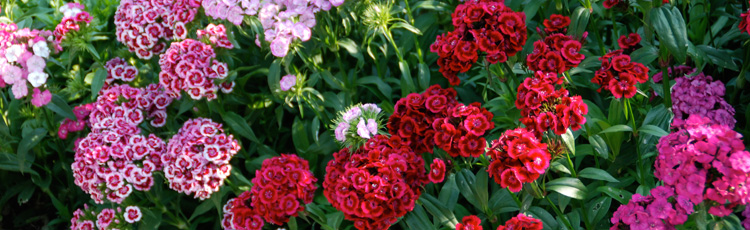 Growing-Sweet-William-THUMB.jpg
