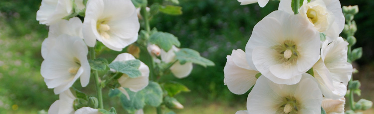 Caring-for-Hollyhock-Plants-THUMB.jpg