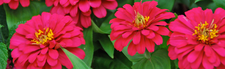 Roots-Growing-Along-the-Stems-of-Cosmos-and-Zinnias-THUMB.jpg