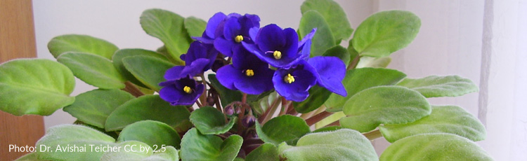 083115_Limp_and_Yellowing_Leaves_on_African_Violets.jpg