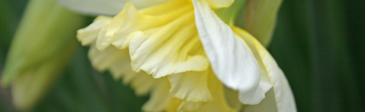 030314_Narcissus_Daffodil_or_Jonquil_March_December_Birth_Flower.jpg