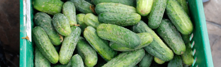 Harvesting Pickles and Cucumbers :: Melinda Myers
