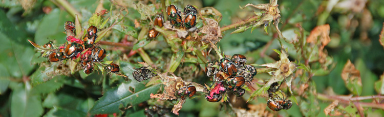 MGMV09_Managing_Japanese_Beetles.jpg