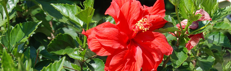 Hibiscus-Infested-with-Whiteflies.jpg