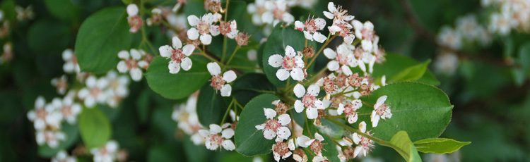 040918_Aronia_Chokeberry_for_Health_and_Year_round_Beauty.jpg