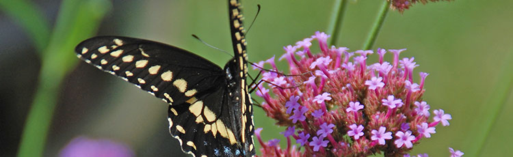 012921_Gardening_for_Black_Swallowtail_Butterflies-THUMB.jpg