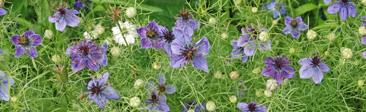 080614_Love_In_A_Mist_Flower_Growing_Tips.jpg